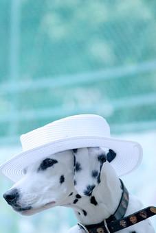 ダルメシアン 犬 かわいい 明るい 動物 生き物 ペット ペットショップ トリミング 動物病院 家族 愛犬 ドッグフード 屋外 飼い犬 癒し 自然 散歩 首輪 アップ ベンチ 成犬 白黒 ブチ 斑点 帽子 ハット
