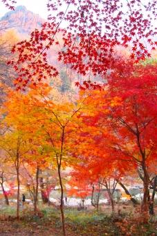 紅葉 癒し オレンジ 黄色 モミジ さいたま県 長瀞 秋 日帰りのたび
