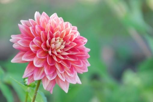 ダリア 植物 7月 8月 9月 夏 秋 夏の花 秋の花 赤 赤い花 10月 花畑 ピンク 花 背景 背景素材 明るい 壁紙 緑 グリーン