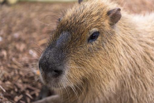 カピバラ マスコット 動物園 かわいい 動物 穏やか のんびり ひげ 生き物 毛 休む アップ 顔