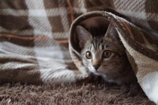 猫 こたつ コタツ ねこ キジネコ 冬 冬のネコ
