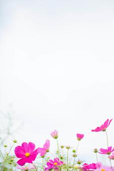 秋の風景 コスモス アキザクラ 秋桜 コスモス畑 花畑 花園 空 桃色 ピンク 緑 植物 花 草花 一面 満開 散歩 散策 自然 風景 景色 真心 のどか 鮮やか 華やか 美しい 綺麗 明るい 余白 空間