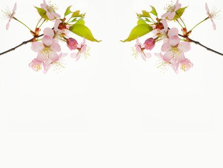 背景 フレーム バックグラウンド 素材 加工 CG グラフィック 枠組み 背景素材 フレーム素材 テンプレート フォトフレーム ひな型 桜 花 花びら おしべ めしべ 花粉  植物 自然 写真 白 白背景 隙間 スペース 空間 左右 対称 左右対称 葉 葉っぱ 緑 枝