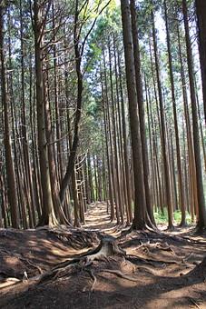 日本 国内 関東 神奈川県 関東山地 観光地 登山道 登山 山登り 山 トレッキング ハイキング 森林浴 アウトドア 野外 自然 風景 植物 樹木 木立 林 森林 スギ 杉 針葉樹 スギ林 杉林 針葉樹林 木漏れ日 木の根 根 根上がり 地面 土 高木