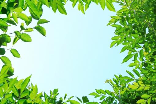 シマトネリコ 木 樹木 葉 葉っぱ 木の葉 新緑 若葉 夏 初夏 真夏日 空 青空 快晴 晴れ 青 水色 鮮やか 新鮮 フレッシュ 天気 日中 屋外 さわやか 気分爽快 明るい 希望 元気 活発 目覚め フレーム 枠 背景 壁紙 バックグラウンド はがき 葉書 ハガキ ポストカード 暑中見舞い 森林 森林浴 森林セラピー リラックス リラクゼーション 自然 植物 風景 そよぐ 風 そよかぜ 涼しい 涼 南国風 軽やか サラサラ 涼しげ シンプル コピースペース テキストスペース 夏っぽい 夏日 避暑 涼感 グリーン 緑 健康的 癒し トロピカル 南国イメージ 南国のイメージ リゾート 汗ばむ 熱中症 日射 夏イメージ 夏のイメージ