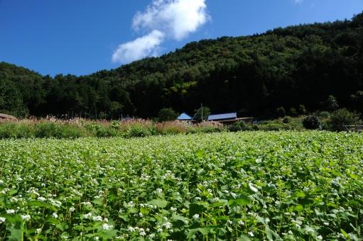蕎麦の花 そば畑 畑 蕎麦 白 花びら 小さい そば 農業 満開 植物 花畑 実り 青空 雲 山並み 山村