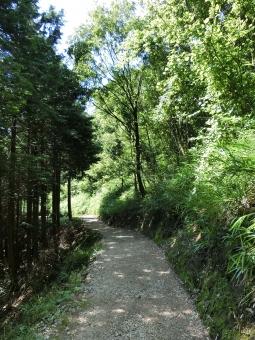 登山道 登山 山登り 山 トレッキング ハイキング 森林浴 アウトドア 野外 自然 風景 植物 樹木 木立 林 森林 スギ 杉 スギ林 杉林 針葉樹林 木の葉 緑 下草 地面 土 木漏れ日 高木 木陰