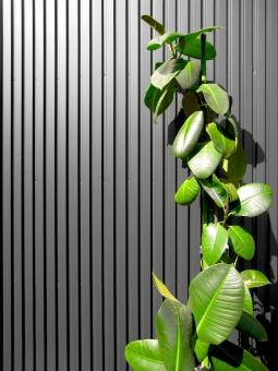 新緑 緑 爽やか さわやか グリーン ガルバリウム 壁 ゴムの木 背景 素材 余白 はっぱ 葉っぱ 葉 は 材料 住宅 建築 建設 家 外壁 黒い 黒 黒い壁 黒い外壁 植物