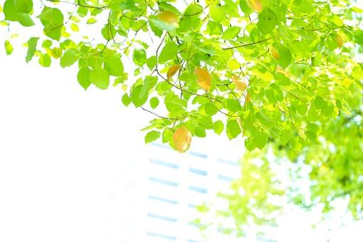 葉 緑 木 新緑 新芽 日本 木の葉 自然 植物 屋外 壁紙 背景 背景素材 バックグラウンド 光 青空 環境 エコ  枝 さわやか 爽やか 初夏 若葉 ビル 建物