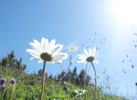 花 空 太陽 爽やか マーガレット 自然 エコ クリーン 白 wallpaper 壁紙 青空 草原 高原 草花 青 グリーン 緑 明るい 幸せ ハッピー