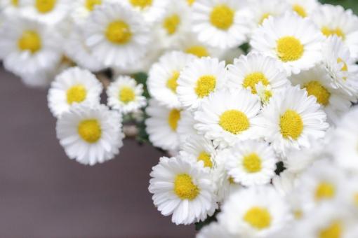 「小菊 フリー画像」の画像検索結果