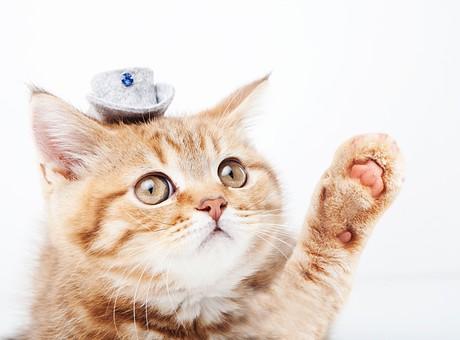 ポーズ 動物 生物 生き物 哺乳類 ほ乳類 猫 ねこ ネコ キャット 子猫 仔猫 仔ネコ 子ネコ 子ねこ 赤ちゃん かわいい 可愛い バストショット バストアップ 見上げる 茶トラ 白背景 白バック グレーバック 帽子 ハット 手を挙げる ハイ ハーイ はい はーい