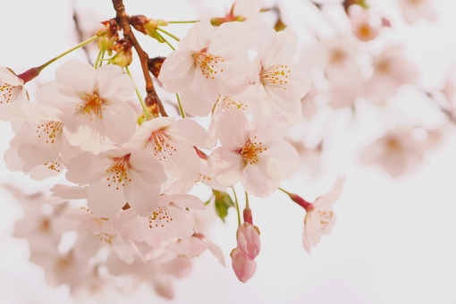 桜 サクラ 花曇り 花 花びら 蕾 つぼみ ピンク色 桃色 薄ピンク 淡紅色 美しい 儚い 明るい 淡い 日本文化 春 和風 白背景 もののあわれ 咲く 開花予報 満開 お花見 桜前線 イメージ 新年度 入学 入社 sakura