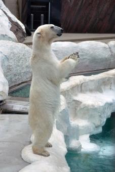 zoo animal å¼·ã 大ãã ç½ã ãé¡ã ãã ç white bear ææ åç¡ åæ