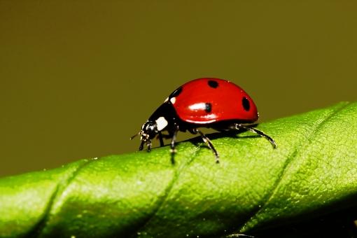 てんとう虫 てんとうむし テントウムシ 天道虫 紅娘 瓢虫 甲虫 斑点 節足動物 赤 昆虫 虫 成虫 生物 生き物 アップ クローズアップ 接写 自然 植物 茎 模様 野生 小さい 観察