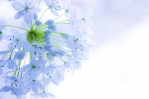 花言葉 無限の悲しみ 花 切花 白い花 白い小花 春 紫 ムラサキ ブルー 白 ホワイト ナチュラル 自然 植物 可愛い かわいい ペールブルー 背景