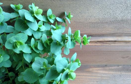 オレガノ ミント ハーブ 木の板 床 壁 アンティーク ナチュラル カフェ風 インテリア グリーン 観葉植物 葉っぱ 背景 テクスチャ フレーム 飾り枠 爽やか 春 古木 無垢材 自然派 新緑 おしゃれ オシャレ
