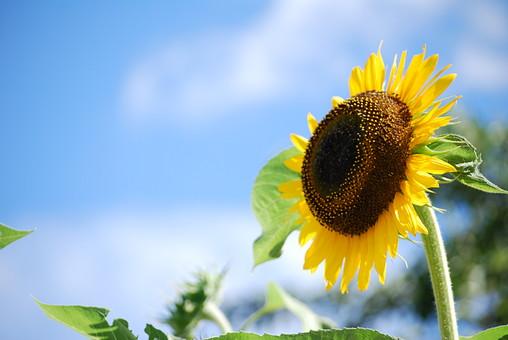 花 ヒマワリ 夏の花 黄色の花 自然 植物 黄色 夏 日本 花畑 フラワー 夏イメージ 向日葵 黄 ひまわり イエロー ヒマワリ畑 ひまわり畑 お花畑 サンフラワー 空 青空 晴天 屋外 背景 バックグラウンド