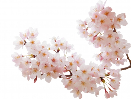 満開の桜切抜きの写真