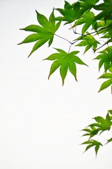 もみじ モミジ 楓 かえで 枝 和 和風 涼 日本 新緑 葉 若葉 青葉 壁紙 素材 爽やか さわやか 明るい イメージ 庭 5月 6月 涼しい 涼しげ 涼感 清涼感 ソフト 葉っぱ 木の葉 はっぱ 小枝 自然 木 樹木 植物 グリーン 森林浴 いやし リラックス リラクゼーション やすらぎ 安らぎ マイナスイオン 健康 背景 背景素材 テクスチャ テクスチャー 夏 緑 春 初夏 癒し きらめき キラメキ 優しさ やさしい 優しい 揺らぎ 風 空気 そよ風 バックイメージ バックグ