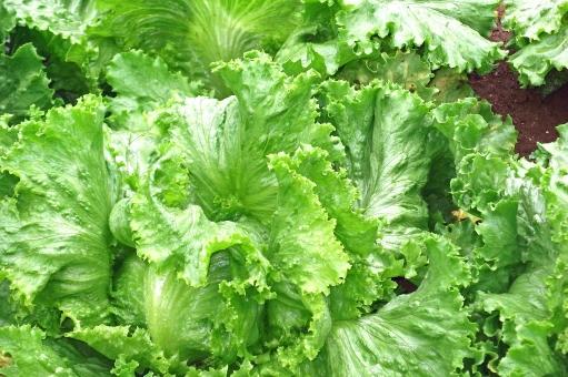 れたす レタス 野菜 ベジタブル 農業 農作物 作物 農地 青果 青物 葉物 葉 ファーム 農耕地 耕地 植物 夏野菜 食べ物 食品 食材 食料 食糧 食料品 自然 緑 露地栽培 田舎 懐かしい風景 懐かしい景色 田園風景