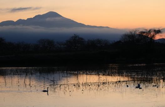 滋賀県の冬の早崎ビオトープにいるコハクチョウと伊吹山ですの写真