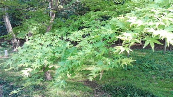 新緑 緑 グリーン 楓 春 葉 公園 外 屋外 自然 きれい 彩り 風景 景色 木 風 そよぐ さわさわ さわやか 清々しい 希望 晴れ 広場 お散歩 植物