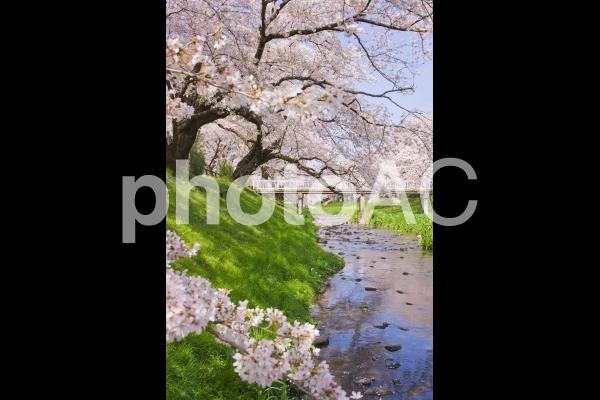 小川沿いの桜の写真