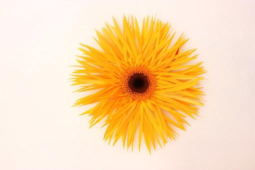 花 植物 ガーベラ 正面 オレンジ 咲く 満開 白バック 一輪