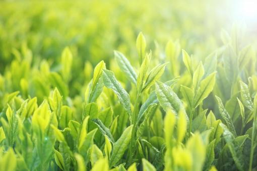 茶 新芽 新緑 緑 朝露 朝 茶畑 八十八夜 greentea green tea 煎茶 日本茶 緑茶 和 日本 農村 畑