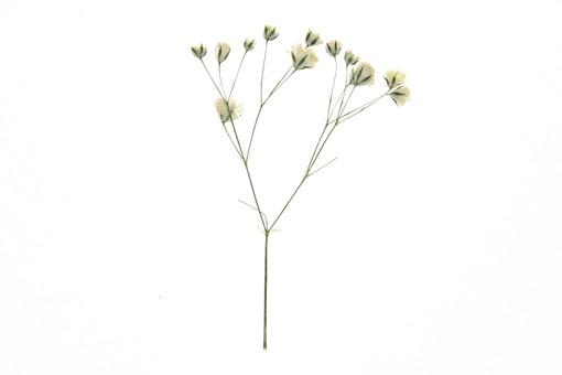 かすみ草に関する写真写真素材なら写真ac無料フリー
