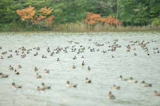 動物 生き物 生物 鳥類 水鳥 カモ 鴨 冬鳥 羽毛 湖 木立 紅葉 湖面 水面 群れ 集団 仲間 泳ぐ 揺れる ゆったり のどか 穏やか 静か 自然 風景 景色 トイフォト トイカメラ トイデジ 背景 バックグラウンド 壁紙