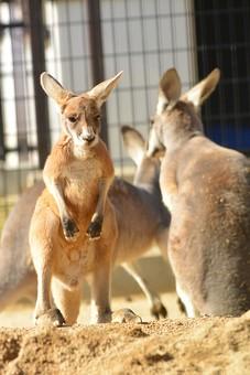 カンガルー 哺乳類 動物 動物園 生き物 飼育 可愛い 毛 毛並み 屋外 外 顔 しっぽ 跳ねる 有袋類 草食動物 オーストラリア 育児嚢 しっぽ  袋 耳 ボクシング 柵 囲い 立つ