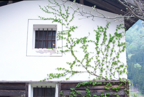 倉 蔵 古い くら 白壁 土蔵 古民家 日本 和 和風 蔦 つた ツタ 蔓 つる 緑 植物 つる植物 白 壁 白壁土蔵