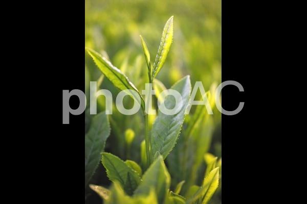 朝日を浴びる茶の新芽の写真