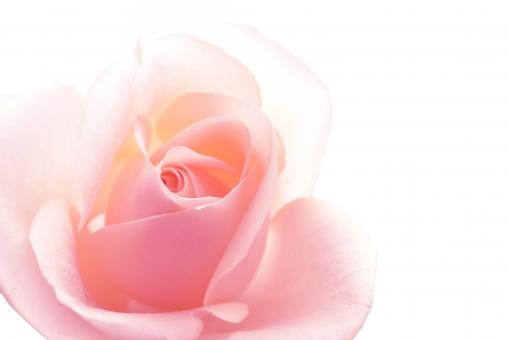 美しいバラのテクスチャ2の写真