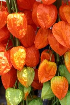 植物 赤 朱色 縁日 お祭り おまつり 夏祭り 風 和風 日本 ほおずき市 ほおずき 風鈴 夏 涼 小物 縦