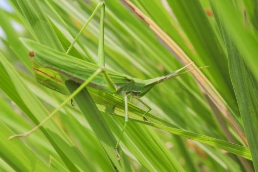 自然 植物 風景 景色 葉 葉っぱ 緑 密集 乗る 止まる つかまる バッタ 虫 昆虫 生き物 育つ 成長 跳ねる 跳ぶ 触覚 脚 羽 雑草 野生 無人 アップ 屋外 延びる 成虫