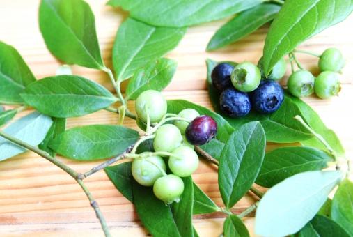 ブルーベリー 実 フルーツ 果物 ベリー 葉 木 植物 枝