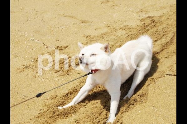 白い犬9(やだー!1)の写真