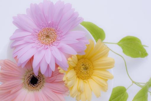 ガーベラ 花 黄色い花 植物 ふんわり 夢 ガーリー 可愛い 女子 女子力 清楚 清らか そっと 気持ち やさしさ 優しい 優しさ 柔らかさ 柔らかい 柔和 イエロー 春 初夏 夏 グリーン 緑 ピンクの花 リキュウソウ 利休草 ビャクブ 元気 上向き