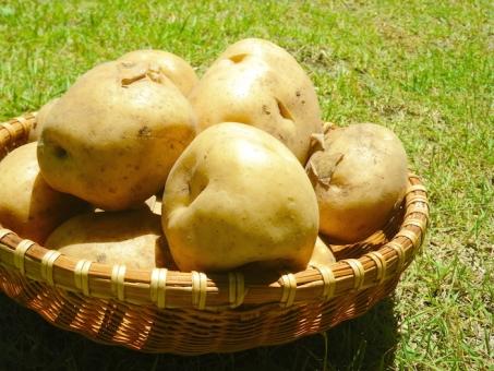 じゃがいも ジャガイモ 男爵 イモ 芋 馬鈴薯 野菜 芋掘り 初夏 新じゃが 新ジャガ 肉じゃが カレー バター シチュー 焼き芋