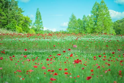 自然 植物 赤い 花 花びら つぼみ 葉 葉っぱ 緑 茎 成長 育つ 伸びる 鮮やか 綺麗 可愛い 美しい 空 雲 青い 白い 晴天 晴れ 天気 青空 アップ 無人 室外 屋外 風景 景色 満開 開花 開く 咲く 多い 沢山 集まる 密集 木 樹木 林 森 森林 広い ポピー 幻想的