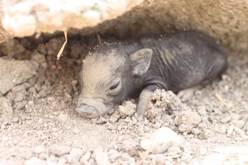 子ブタ 仔ブタ 仔豚 子豚 黒ブタ 赤ちゃん 動物