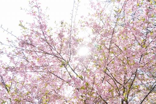 桜と太陽の写真