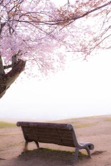 桜の木 ベンチの写真