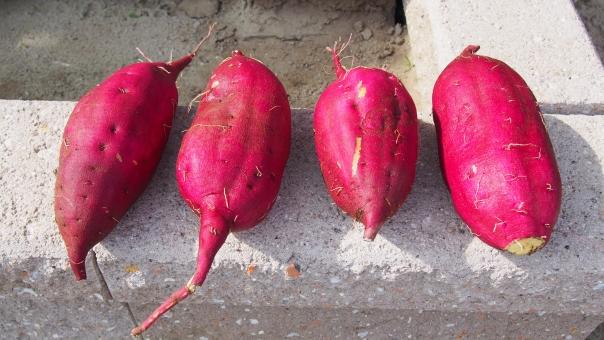 さつまいも さつま芋 サツマイモ 薩摩芋 野菜 収穫 畑 家庭菜園 農業 食べ物 土 泥 農作物 vegetable sweet_potato 紅あずま 秋 autumn
