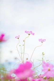 秋の風景 コスモス アキザクラ 秋桜 コスモス畑 花畑 花園 空 雲 桃色 ピンク 緑 植物 花 草花 一面 満開 散歩 散策 自然 風景 景色 真心 のどか 鮮やか 華やか 可愛い 美しい 綺麗 明るい ボケ味 ピントぼけ