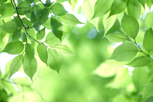 自然 風景 植物 樹木 木の葉 葉っぱ 緑の葉っぱ 新緑 若葉 季節感 新芽の季節 四月・五月 六月・七月・八月 初夏 夏 夏イメージ 新鮮な 暑中見舞い 森林 公園 ポストカード 待ち受け画像 コピースペース バックスペース 光 光透過光 光を浴びて 木漏れ日 目に青葉 グリーンバック