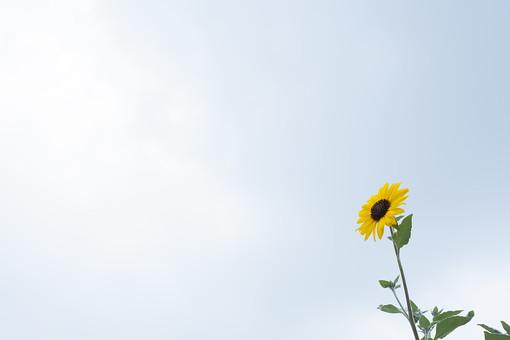 花 植物 ひまわり 向日葵 サンフラワー 夏 黄色 一輪 キク 一年草 鑑賞 太陽 環境 庭 花壇 花草 ガーデニング 園芸 あこがれ 崇拝 熱愛 フィボナッチ 夏休み 種 空 大空 バックグラウンド 背景 白 空間